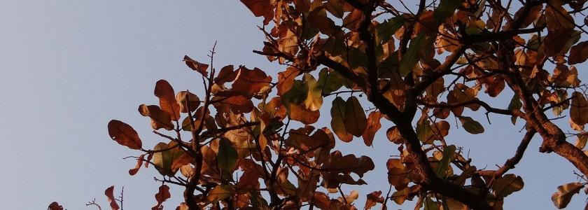 Utilisation des feuilles de catappa en aquariophilie