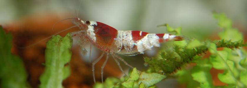 Morphologie des crevettes