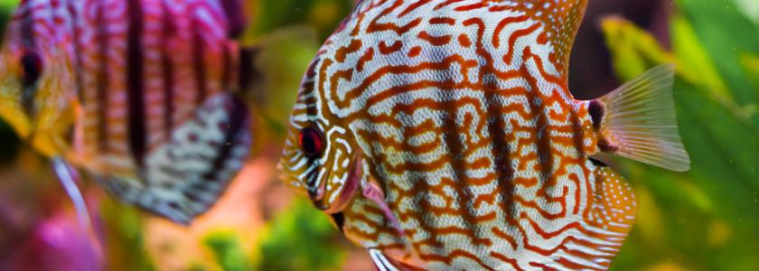 Le discus, le roi des aquariums tropicaux d'eau douce