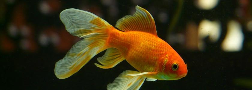 Quels poissons pour les débutants ?
