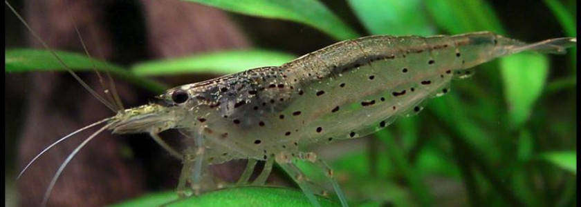 Reproduction de Caridina Multidentata (japonica) : la Méthode Logemann !