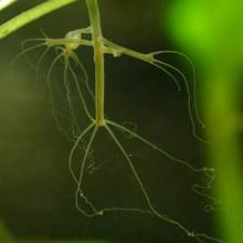 hydre aquarium tentacules