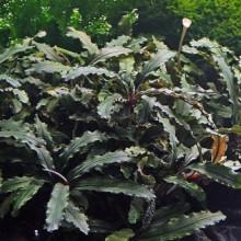 bucephalandra spec wavy leaf