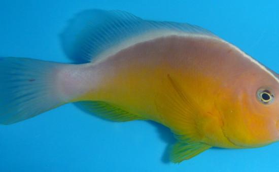 Pacificus