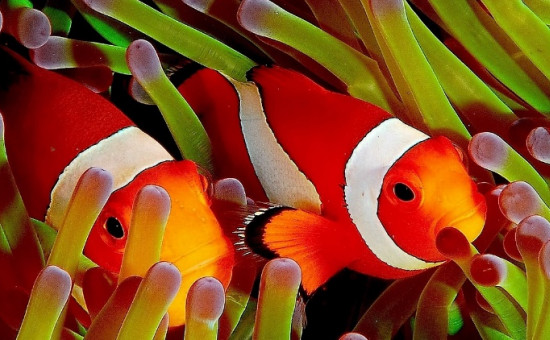 anemone et poisson clown