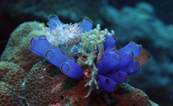 Ascidie bleue