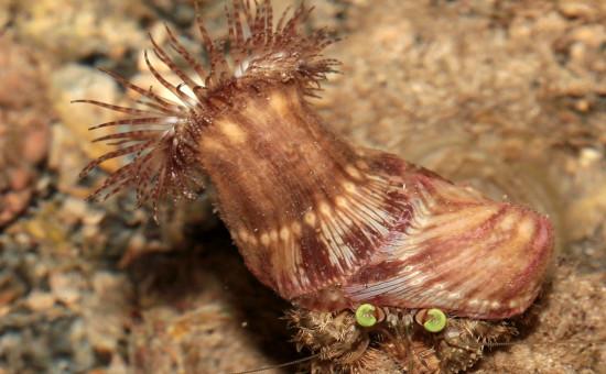 Bernard-L'hermite Dardanus Deformis
