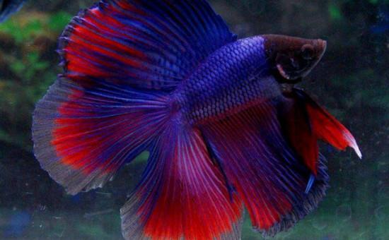 Doubletail (Photo Aquario et bettas)