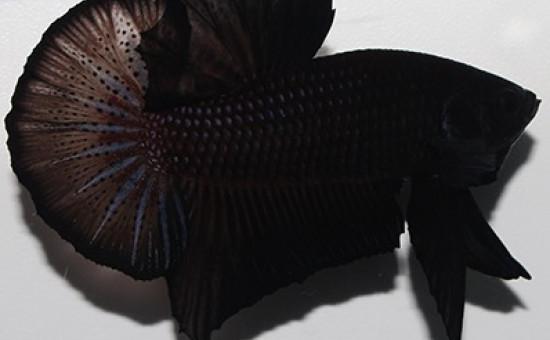 Black Lace (Photo Betta Territory)