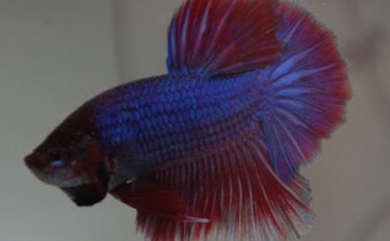 Irisation normale Bleu-Roi (Photo Aquario et Betta)