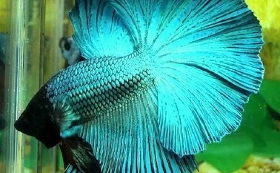 Irisation étendue Bleu-Acier (Photo Aquario et Betta)