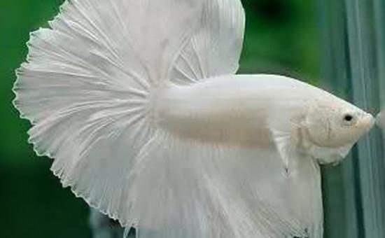 Opaque blanc (Photo Univers Aquatique)