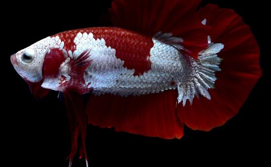 Red Samuraï (Photo Nice Betta Thaïland)