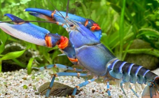 Cherax blue-kong