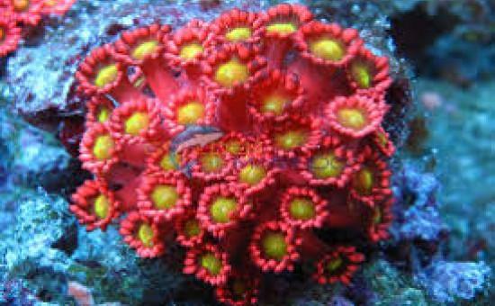 Goniopora sp