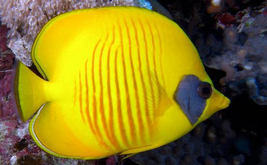 Chaetodon Semilarvatus (Poisson-papillon citron)