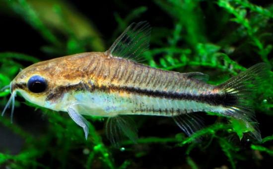 C. Pygmaeus (C. Pygmée)