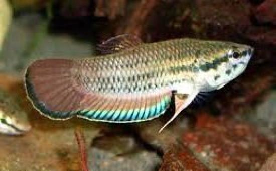 Aurigans (Photo Tropicalfishcafe)