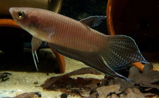 Balunga (Photo Aquainfo)