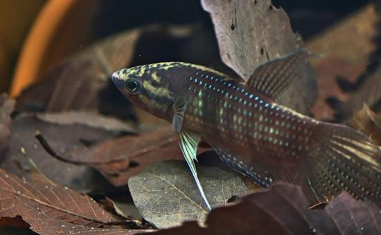 Obscura (Photo Balitoridae)