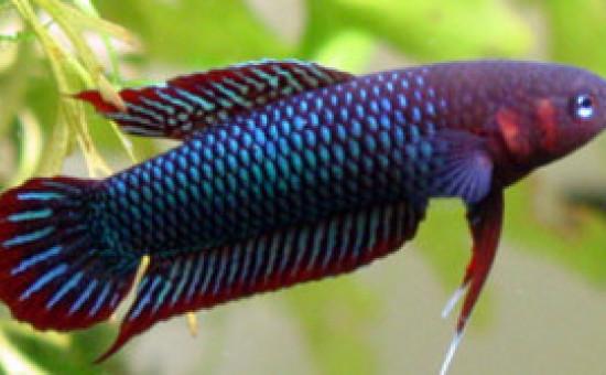 Uberis (Photo FishFish)