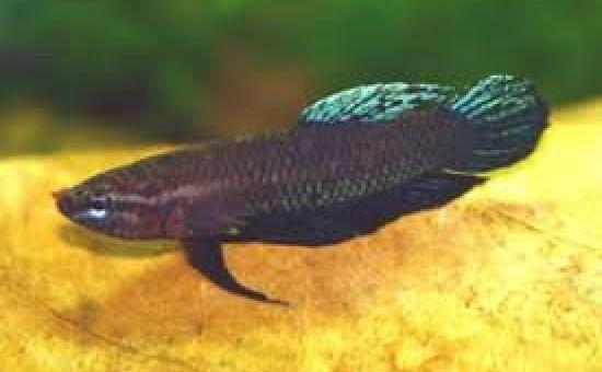 Miniopinna (Photo FishFish)