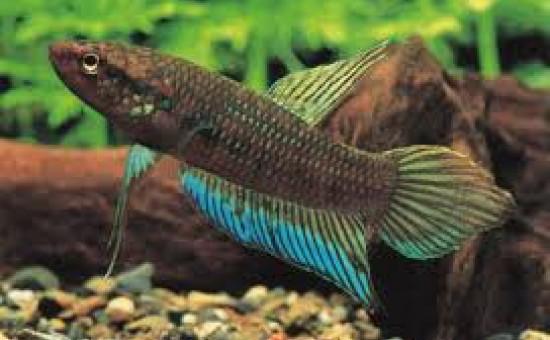 Dimidiata (Photo FishFish)