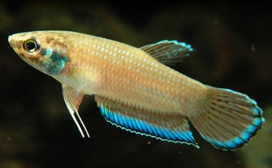 Taeniata (Photo Univers Aquatique)