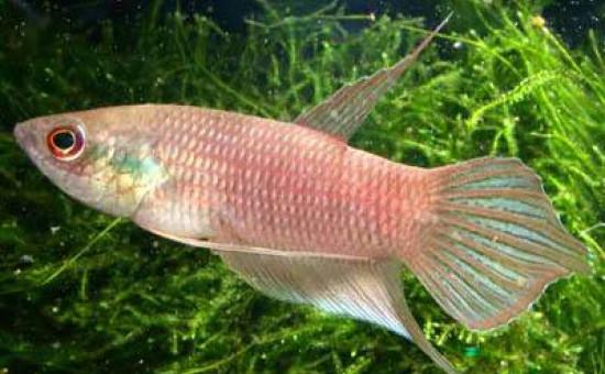 Schalleri (Photo FishFish)
