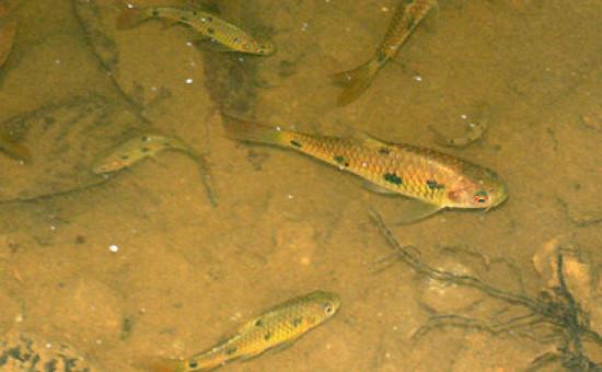 Barbodes Sealei (Photo Ecology Asia)