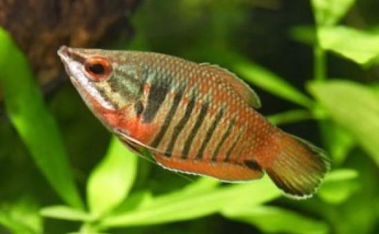 Sphaerichthys Vaillanti femelle