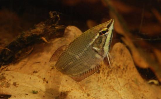 Sphaerichthys Vaillanti mâle