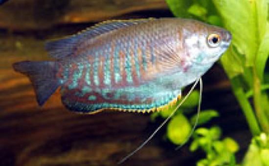 Trichogaster Labiosa Classique