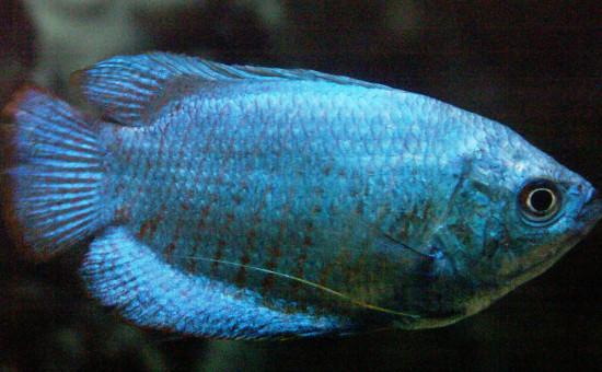 Trichogaster Lalius Mâle bleu