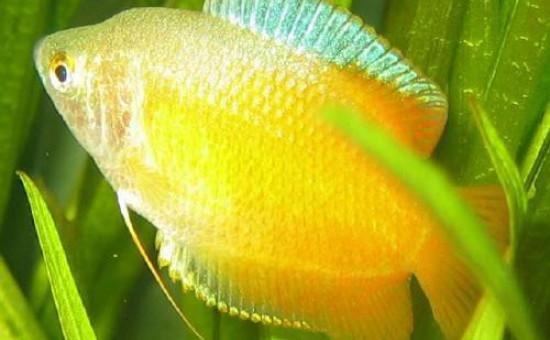 Trichogaster Lalius Mâle orange