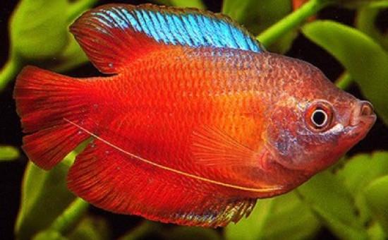 Trichogaster Lalius Mâle rouge