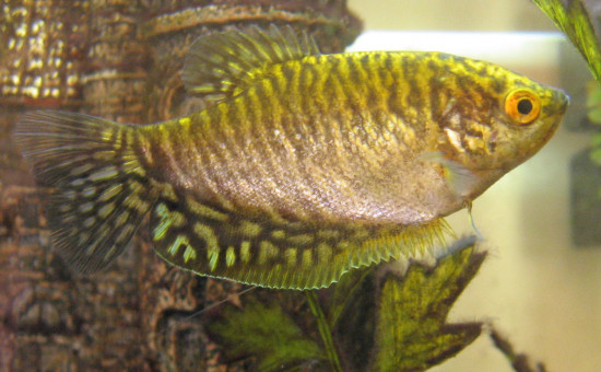 Trichopodus Trichopterus «Doré»