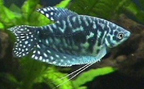 Trichopterus Sumatranus (Opaline)