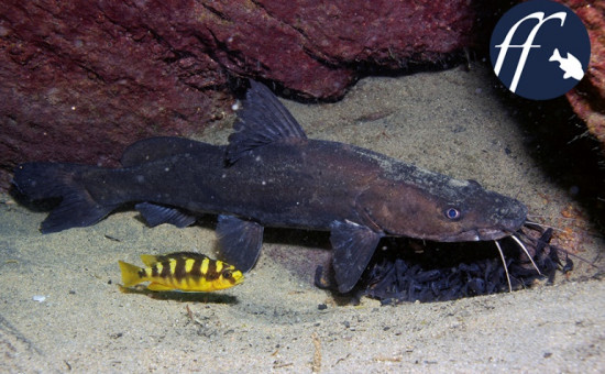 Pseudotropheus Crabo