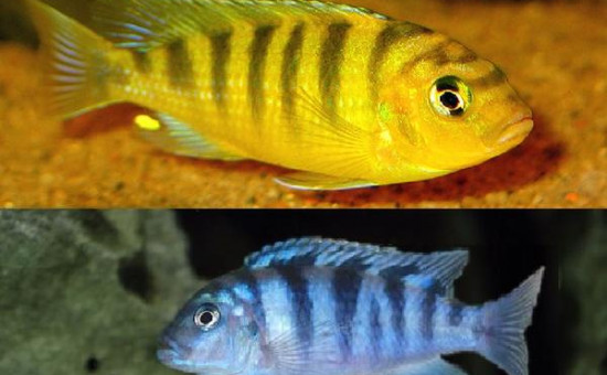 Maylandia Lombardoi (mâle jaune)