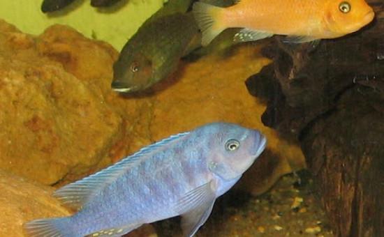 Maylandia Estherae (mâle bleu)