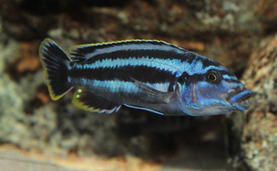 Melanochromis Kazkazini (mâle)