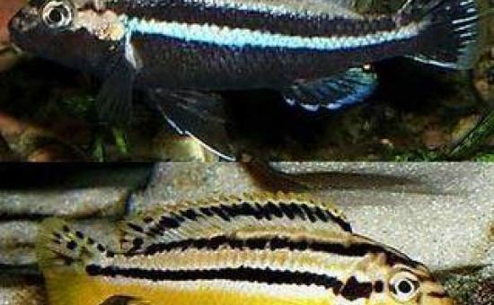 Melanochromis Auratus (mâle bleu)