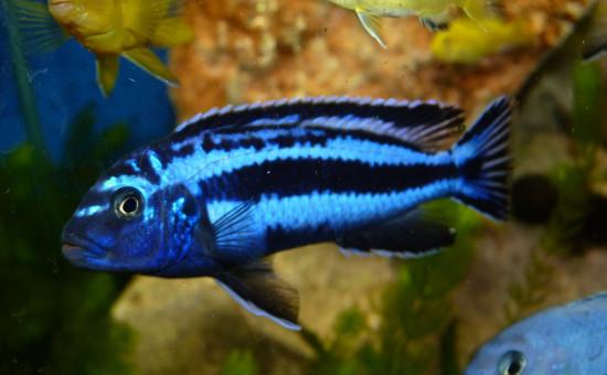 Melanochromis Cyaneorhabdos (ou Maingano)