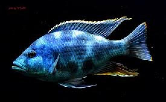 Nimbochromis Livingstonii (ou Dormeur)