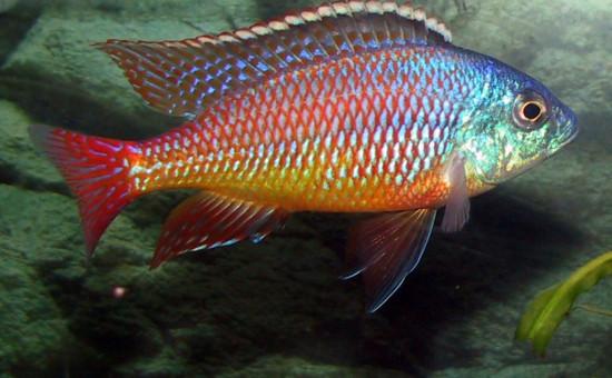 Protomelas Taeniolatus  (ou Namalenje)