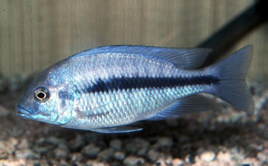 Protomelas Annectens (ou Suiveur bleu)