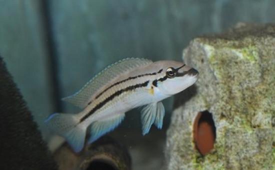 Chalinochromis sp Bifrenatus