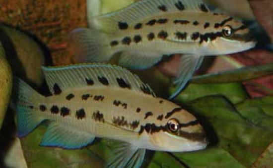 Chalinochromis sp Ndobhoi