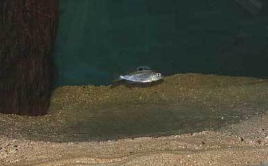 Ectodus Descampsii sur son nid